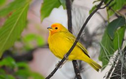 Orange-fronted Yellow Finch Sicalis columbiana Stock Photos