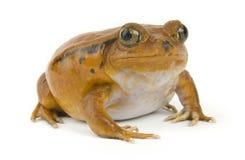 Orange Frosch Lizenzfreies Stockfoto