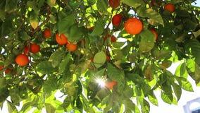 Orange Frucht stock video