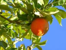 Orange Frucht auf Baum Lizenzfreie Stockfotos