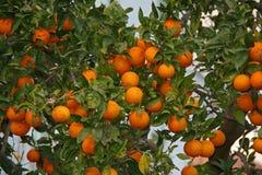 Orange Frucht auf einem Baum Lizenzfreies Stockfoto