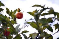 Orange Frucht auf Orangenbaum Stockbilder