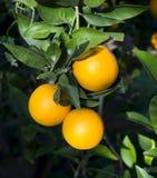 Orange fruit. Fresh oranges on the tree on a sunny day Stock Photos