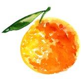 Orange fruit. Hand painted illustration of orange fruit Royalty Free Stock Image