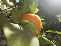 Orange Fruit.  Royalty Free Stock Photography