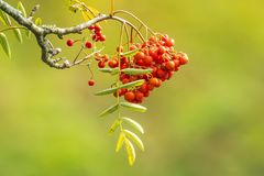 Orange fruit berries of a Sorbus aucuparia tree, Blooming in bri. Orange fruit berries of a Sorbus aucuparia tree, commonly called rowan and mountain-ash royalty free stock photo