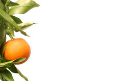 Orange fruit on branch stock photo