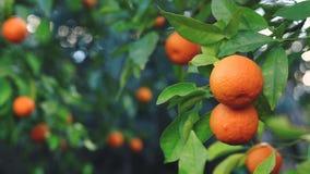 Orange fruit on a branch. stock video