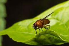 The Orange Fruit Fly Royalty Free Stock Image
