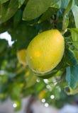 Orange fruit. Royalty Free Stock Photo