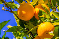 Orange Fruit Growing in a Tree. In the Backyard Royalty Free Stock Image