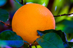 Orange Fruit Growing in a Tree. In the Backyard Royalty Free Stock Photography