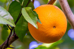 Orange Fruit Growing in a Tree. In the Backyard Stock Photo