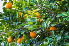 Orange Fruit Growing in a Tree. Ready to Pick and Eat Royalty Free Stock Photo