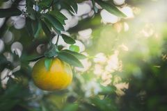 Orange fruit and leaves with morning light. Stock Photography