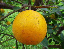Orange fruit with parasites Royalty Free Stock Image