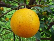Orange fruit with parasites. Orange hanging on its tree Royalty Free Stock Image