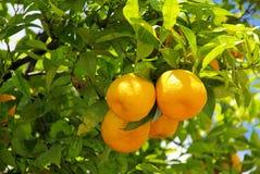 Orange fruit on tree. Orange fruits on tree in the south Stock Images