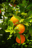 Orange fruit on tree Stock Images