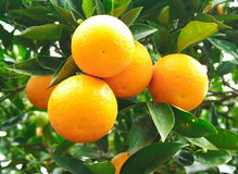 Orange fruit on a tree. A fresh and healthy orange fruit on a tree royalty free stock photos