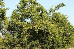 Orange fruit  tree, agar madhya pradesh, india. Royalty Free Stock Photography