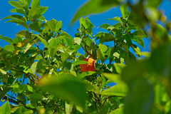 Orange fruit tree. Stock Image