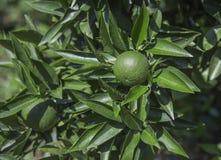 Orange fruit on tree branch Stock Image