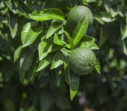 Orange fruit on tree branch Royalty Free Stock Photos