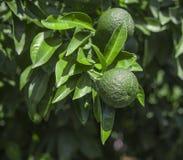 Orange fruit on tree branch Royalty Free Stock Photos