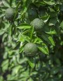 Orange fruit on tree branch Stock Photos