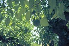 An Orange fruit tree in Cordoba, Spain, Europe. Used to make marmalade royalty free stock photography