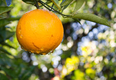 Orange fruit in the tree. Droplets about to fall from a navel orange fruit Stock Images