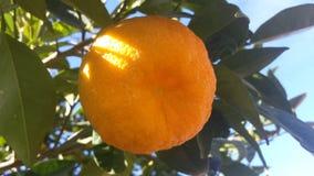 Orange fruit on a tree Royalty Free Stock Photos