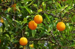 Orange fruit on tree Royalty Free Stock Photography