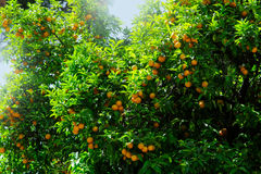 Orange fruit on tree in garden Royalty Free Stock Photos