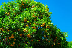 Orange fruit on tree in garden Stock Photography