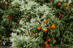 Orange fruit on tree in garden Royalty Free Stock Photography