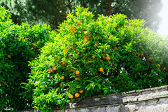 Orange fruit on tree in garden Royalty Free Stock Image
