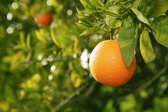 Orange fruit tree before harvest Spain. Orange fruit on tree before harvest in mediterranean Valencia Spain stock image