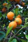 Orange fruit tree with oranges Stock Photo