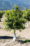 Orange Fruit Tree Orchard Stock Images