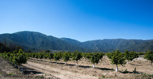 Orange Fruit Tree Orchard. Rows of Orange Fruit Trees growing in an orchard. In the background is the Chilean Coast range Royalty Free Stock Photography