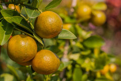 Orange fruit tree orchard. Stock Photography