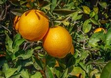 Orange fruit on tree. Organic orange, orange citrus fruits on tree Royalty Free Stock Photo