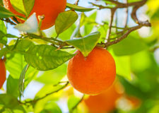 Orange fruit. Orange on tree, ripe fruits Stock Photo
