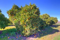 Orange fruit tree with ripe oranges Stock Photography