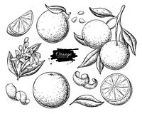 Orange fruit vector drawing set. Summer food engraved  illustration. Orange fruit vector drawing. Summer food engraved  illustration Isolated hand drawn slice royalty free illustration