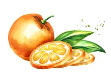 Orange fruits composition. Watercolor hand drawn illustration, isolated on white background. Stock Image