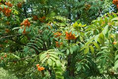 Orange fruits among green leafage of rowan Royalty Free Stock Photos