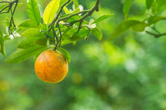 Orange fruits with green leaves Royalty Free Stock Image